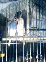продам пару волнистых попугайчиков (со всем необходимым)  - 800 рублей