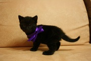 Продается британский котенок