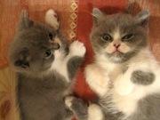 Британские котята,  биколор. Продажа