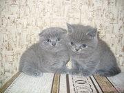 Продаются британские голубыые котята.