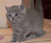 Продается очаровательный британский котенок
