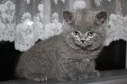Британские котята в Ижевске