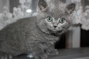 Британские котята продаются