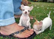 Красивые щенки Чихуахуа для принятия