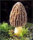 Куплю грибы