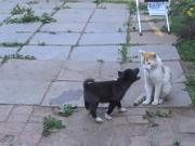 Продам Ижевск щенки русско-европейской лайки.